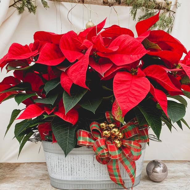 Double Poinsettia in festive holiday tin