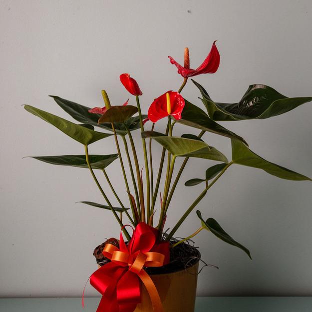 Anthirium Plant - $40