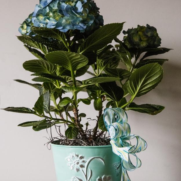 Hydrangea in decorative pot