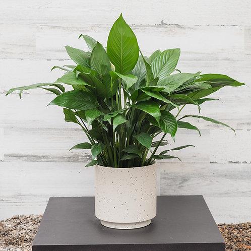 "6"" Peace Lily Plant in Ceramic Pot"