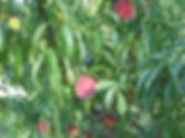 fruit tree.jpg