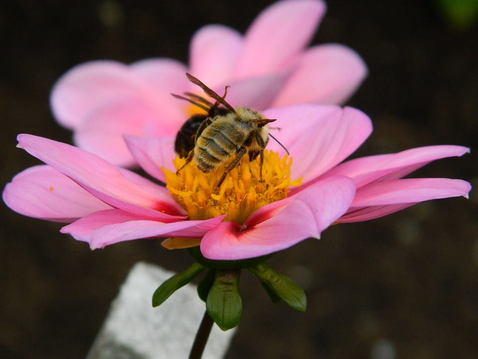 bees and the cosmos