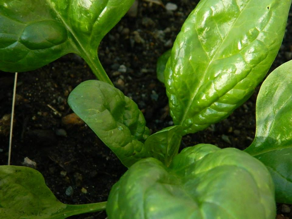 spinach close up