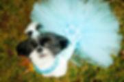BB's Imperial Shih Tzu Virginia Beach,  Imperial Shih Tzu for sale, Shih Tzu, Shih Tzus, Imperial Shih Tzu puppies for sale, Imperial Shih Tzu puppies, bbs imperial shih tzu, shih tzu Virginia,, bb's imperial shih tzu