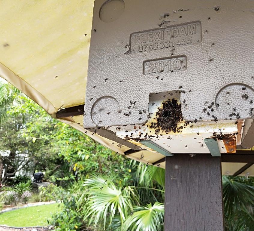 Australian native stingless bees