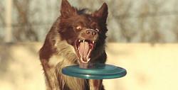 discdog