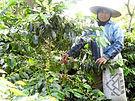 Sumatra-Picker.jpg