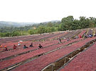 Ethiopia natural drying bed