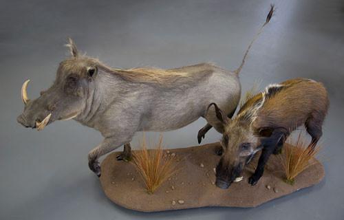 Wart Hog / Bush Pig