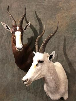 Common / White Bleasbok