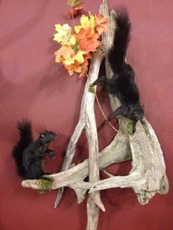 Black Squirrls