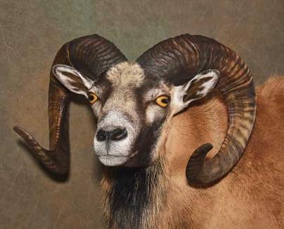 Mouflon Face Detail