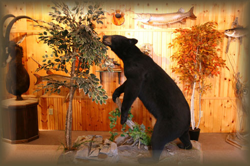 Black bear with Bee Hive