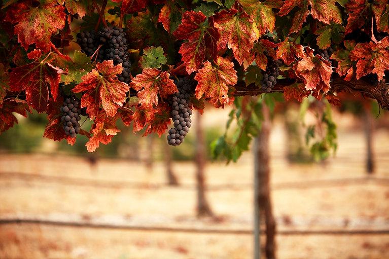 Autumn-Vines.jpg