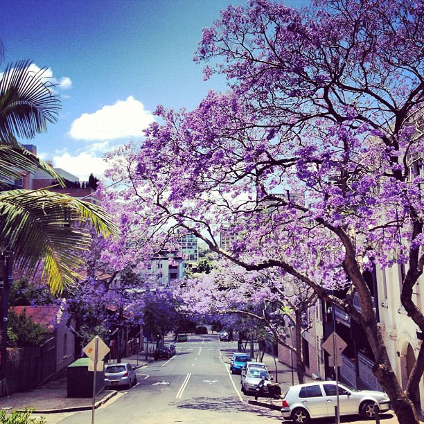 #jacaranda #beautiful #australia #sydney #tree #love #peace #nature #life #street #balmain
