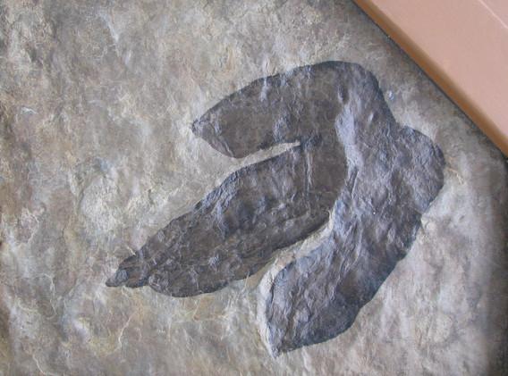 37. Dilophosaurus Track, mold.jpg