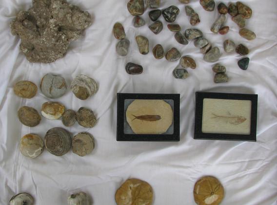 39. Dinosaur Coprolite, Fossilized Clams