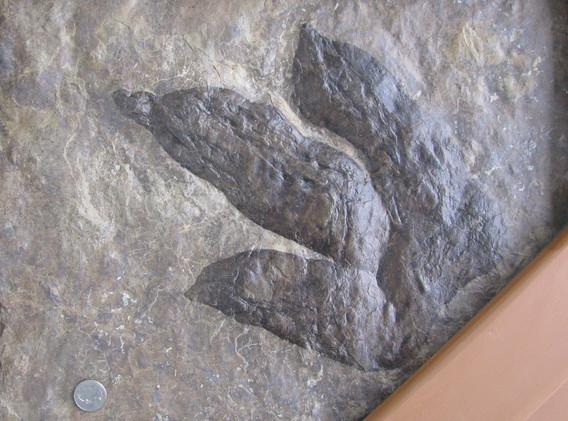 36. Dilophosaurus Track, cast.jpg