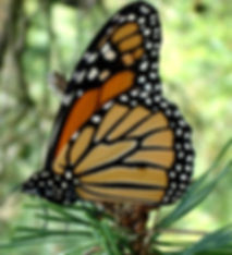 monark-butterfly-1311593_edited.jpg