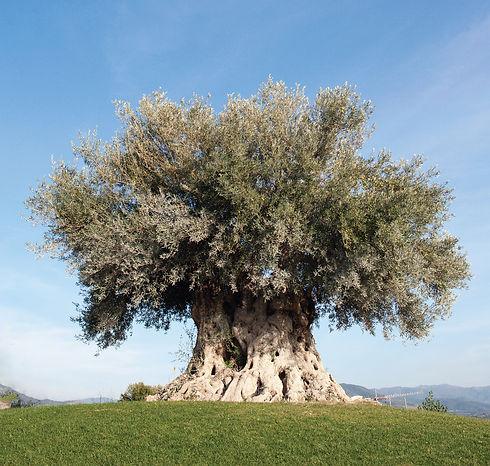 olive tree-01.jpg