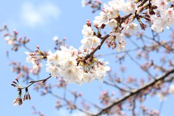 桜、シュガークラフト、シュガーフラワー、オーダー