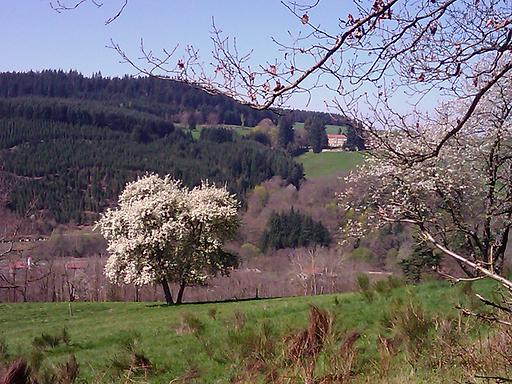 les gites des pins arbre blanc.png