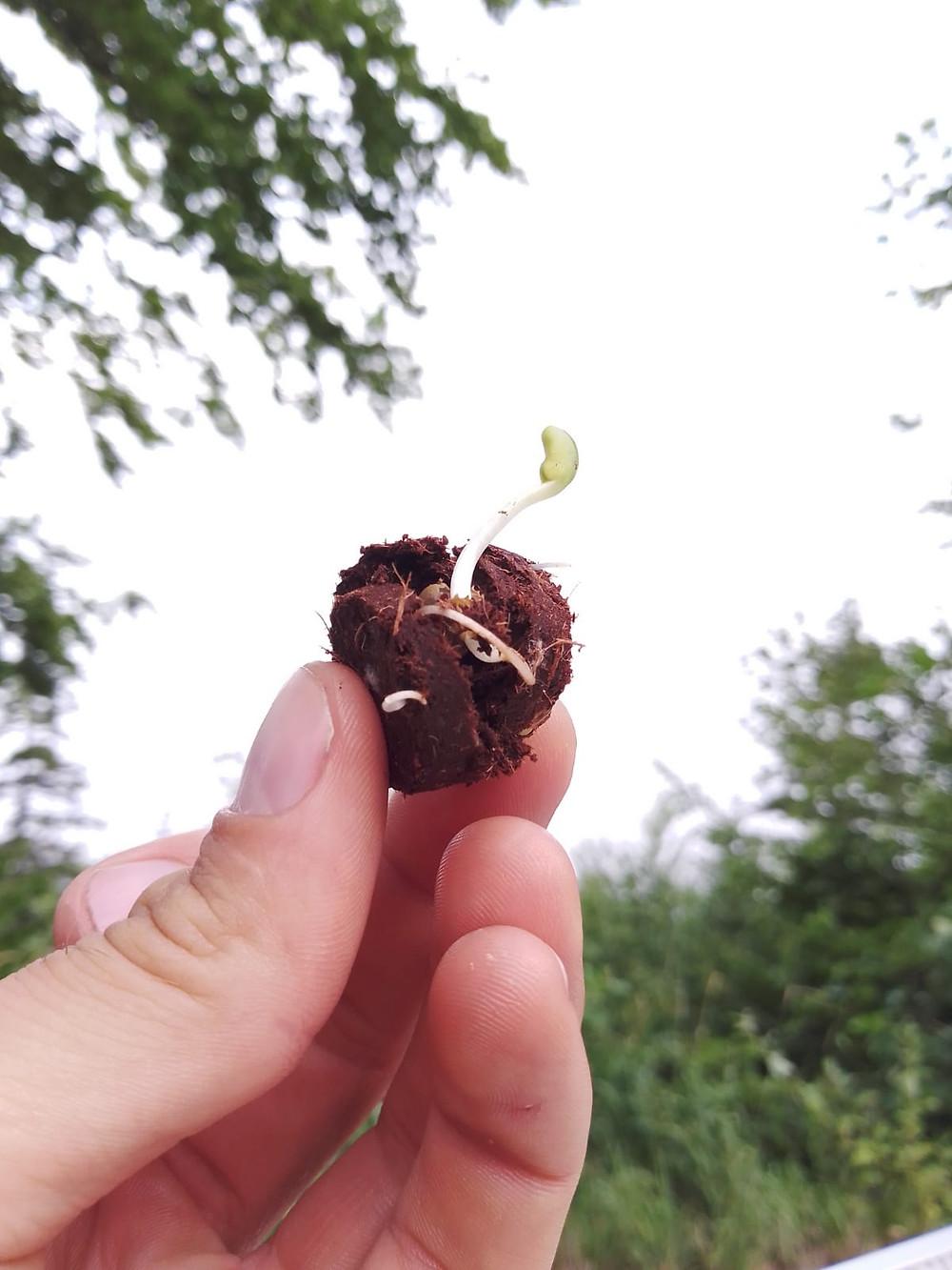 Bombe à graines germée