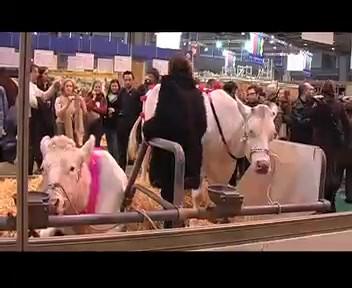 Défilé de mode vaches en soutien-pis