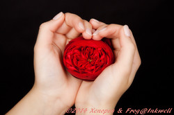 Hands holding rose on black background