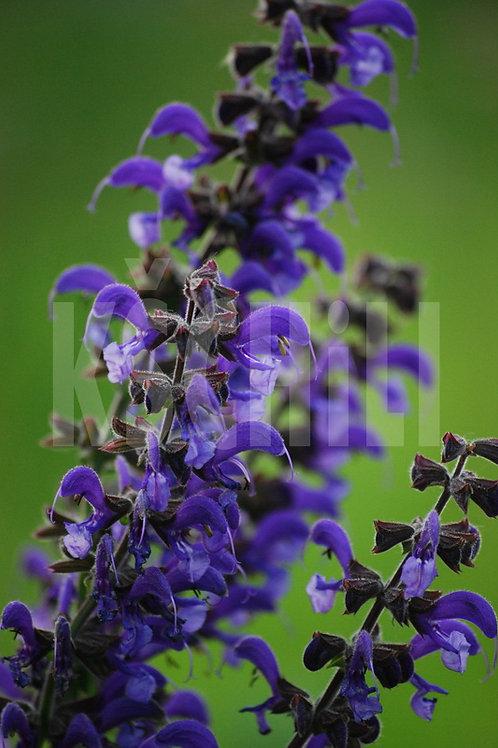 """Salvia Sclarea - Clary Sage"" 8 Seeds"