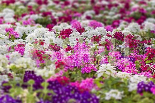 """Garden Verbena"" Mix 8 Seeds"