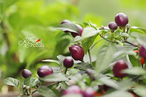 """Pretty In Purple"" Pepper 8 Seeds (Capsicum Annuum)"