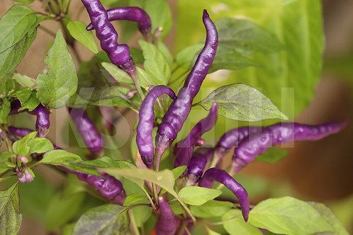 """""""Numex April Fool's Day"""" Chili Pepper 8 Seeds (Capsicum Annuum)"""
