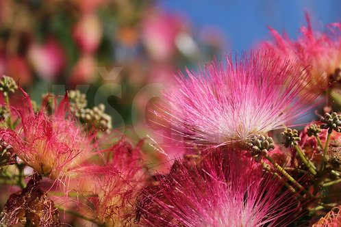 """Albizia Julibrissin (Persian Silk Tree, Mimosa)"" 8 Seeds"