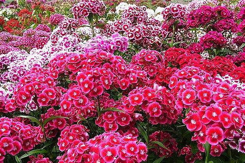 """""""Dianthus Barbatus - Sweet William"""" 8 Seeds"""