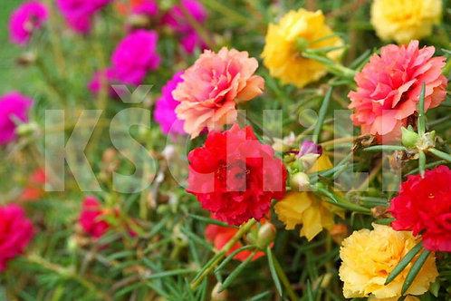 """Portulaca Grandiflora - Moss Rose"" Mix 8 Seeds"