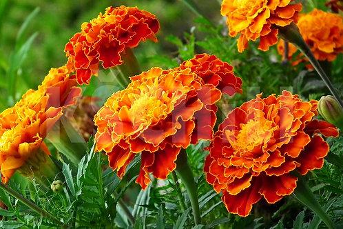 """Tagetes Patula - Marigold"" 8 Seeds"