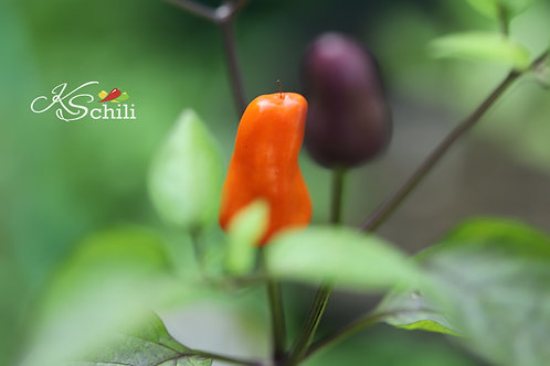 """Chinese 5 Color"" Pepper 8 Seeds (Capsicum Annuum)"