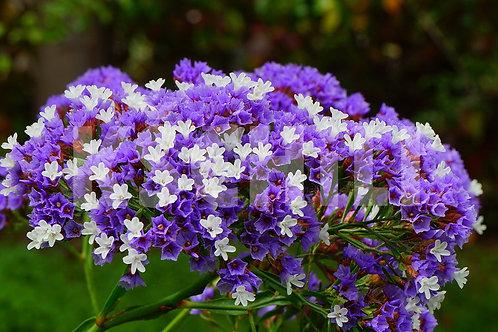 """""""Limonium Sinuatum - Wavyleaf Sea Lavender"""" Mix 8 Seeds"""