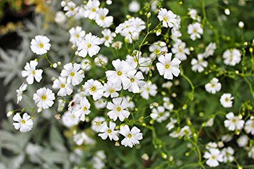 """Gypsophila Elegans - Baby's Breath"" 8 Seeds"