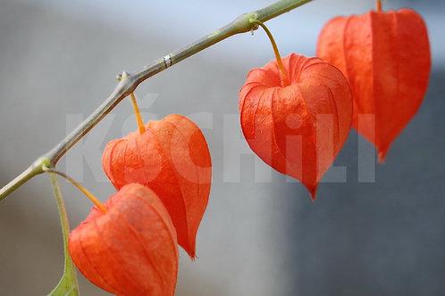 """Physalis Peruviana - Cape Gooseberry"" 8 Seeds"