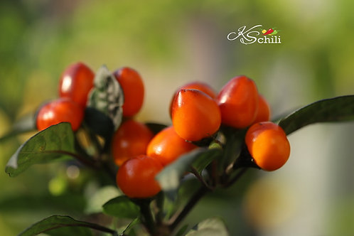 """Costa Rica Orange"" Hot Chili Pepper 8 Seeds (Capsicum Frutescens)"