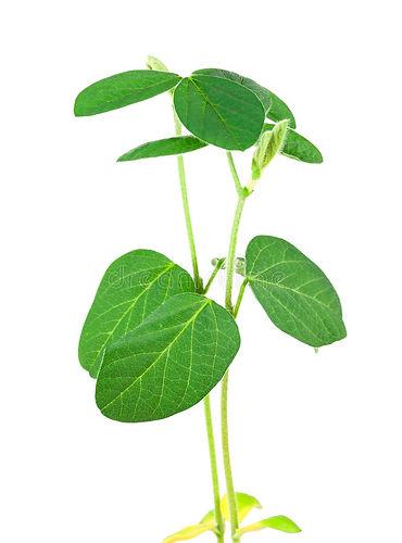 planta-da-soja-27914039.jpg