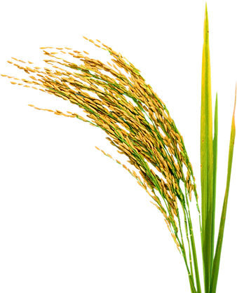 paddy-rice-500x500.png