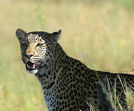 Guineafowl Safari Kalahari
