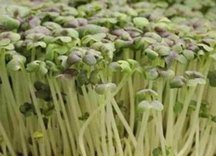 Mustard - Osaka Purple - Microgreens