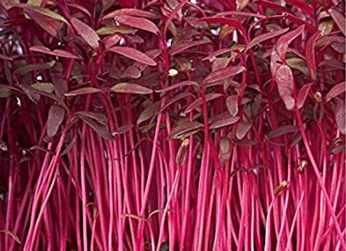Amaranth Red Garnet Microgreen