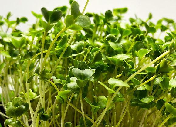Broccoli  - Microgreens