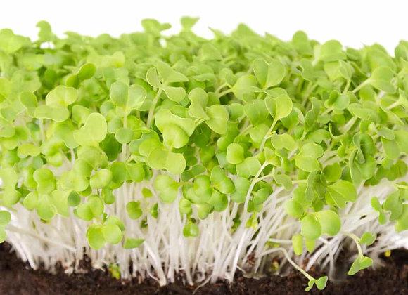 Mustard - Mizuna - Microgreens