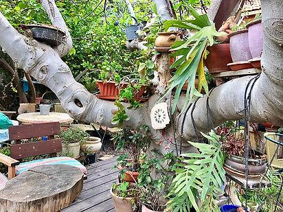 בטבע של בני בצל התאנה שבחצר שלנו בעמיעד